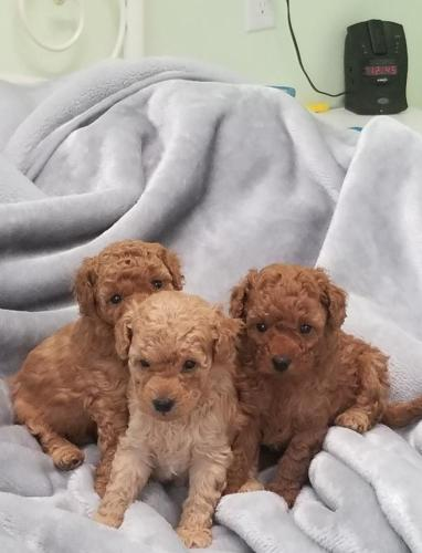 Mini Toy Poodles Puppies For Sale In Kendall New York