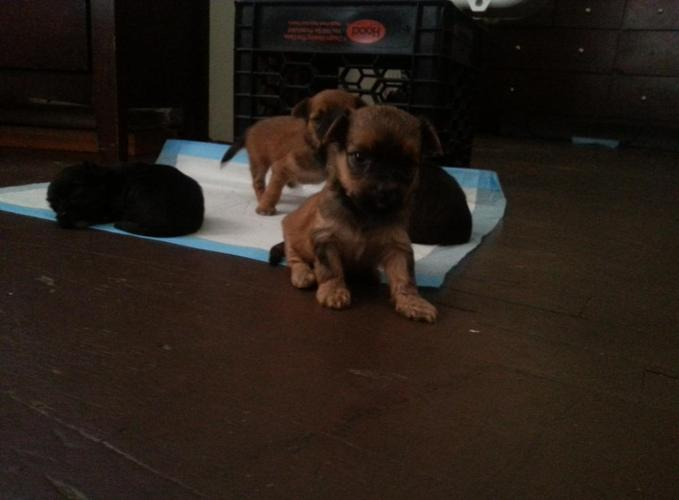 Mini Yorkie Puppies For Sale For Sale In Springfield Massachusetts