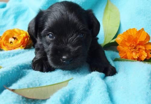 Mini Schnauzer Puppies Toy Size For Sale In Sacramento