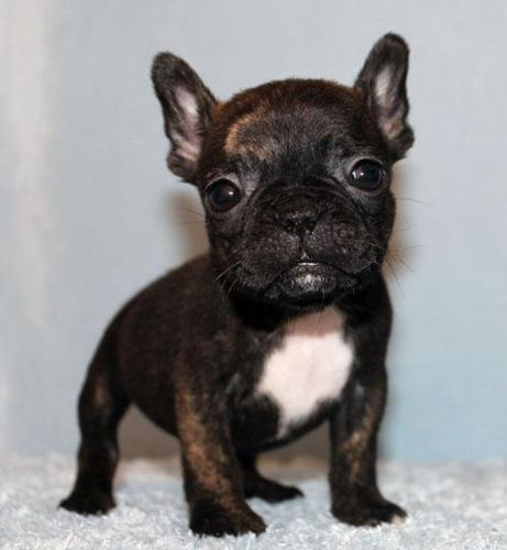 Miniature AKC Blue/Tan Carrier French Bulldog Puppy