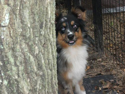 Miniature Australian Shepherd 4 adoption 250-blue merle