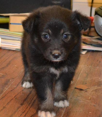 Miniature Australian Shepherd ( may ) ASDR