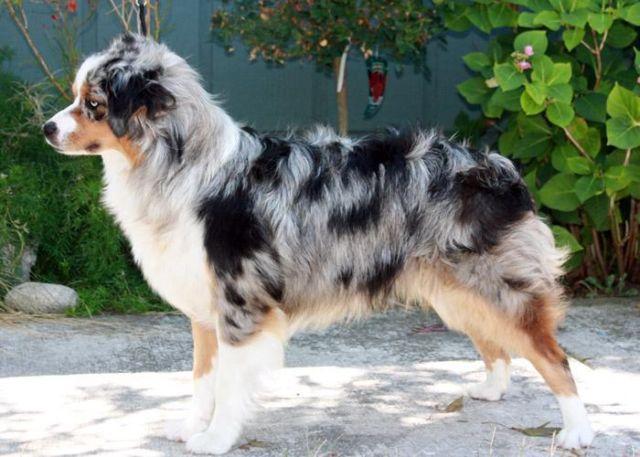 Miniature Australian Shepherd Puppies- blue and tris ASDR