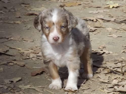 Pics Photos - Miniature Australian Shepherd For Sale In Abilene Texas