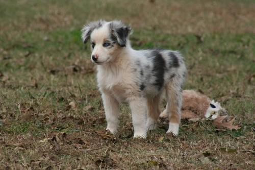 Miniature australian shepherd puppies for sale in madison south