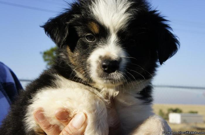 Pics Photos - Miniature Australian Shepherd Puppies For Sale Virginia