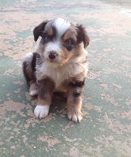 Miniature Australian Shepherd Puppies - Mini Aussie