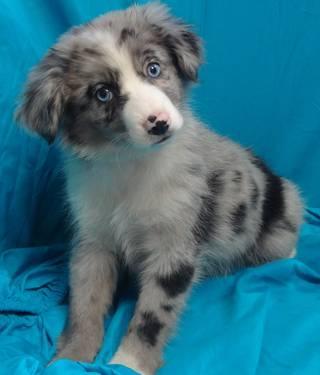 Miniature australian shepherd puppies for sale in bardstown kentucky