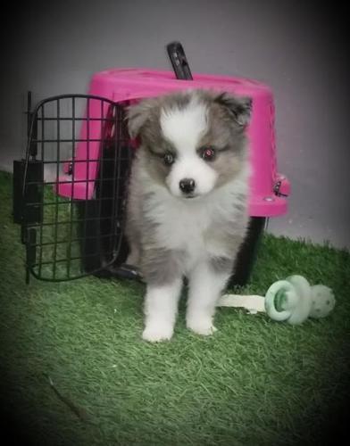 Miniature Australian Shepherd Puppy For Sale Adoption Rescue For