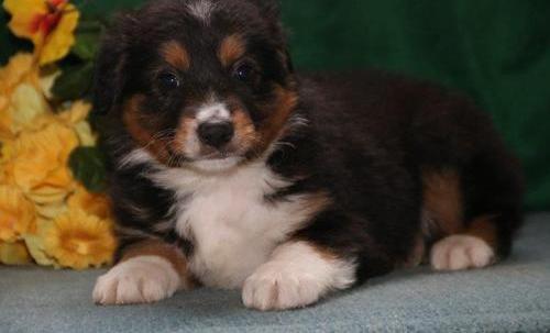 miniature australian shepherd puppies for sale pa