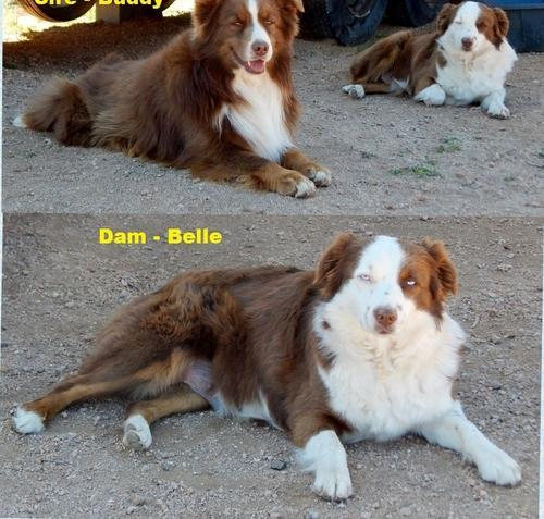 mini aussie Pets and Animals for sale in the USA - Puppy and