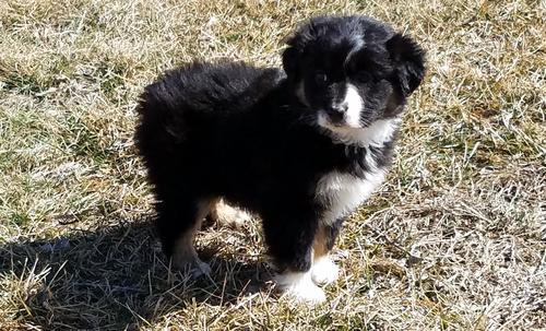 Miniature Australian Shepherd Puppy For Sale Adoption Rescue For