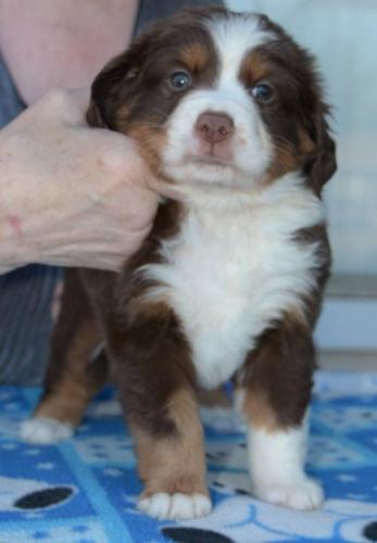 Miniature Australian Shepherd Puppy for Sale - Adoption