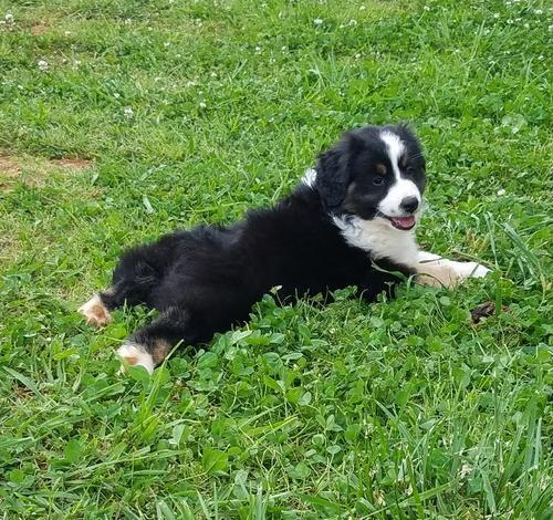 Miniature Australian Shepherd Puppy for Sale -