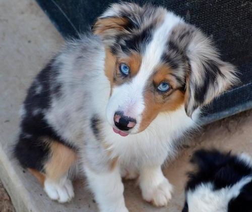 Miniature Australian Shepherd Puppy for Sale - Adoption ...