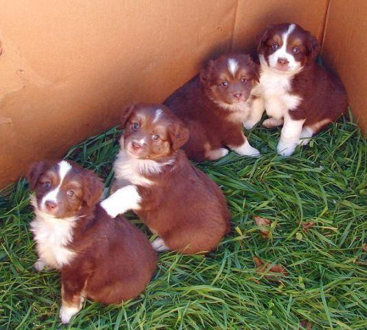 MINIATURE AUSTRALIAN SHEPHERD PUPS! NEW ARRIVALS !!