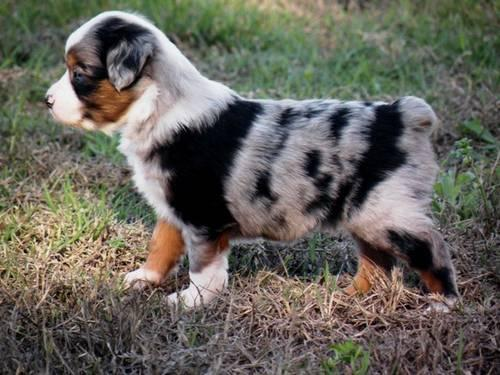 Miniature australian shepherds for sale in la vernia texas classified