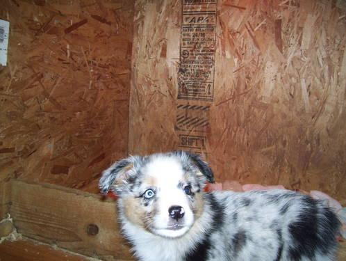 Australian shepherds puppies for sale for sale in scappoose oregon