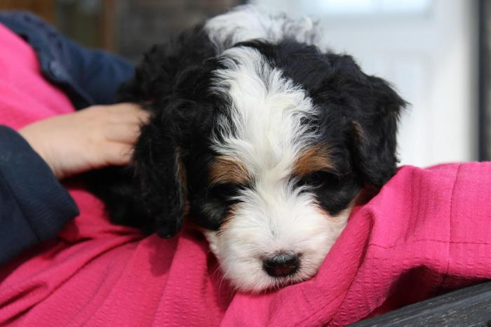 Miniature Bernedoodle Puppies