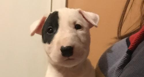 Miniature Bull Terrier Puppy For Sale Adoption Rescue For Sale In