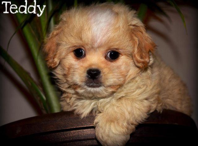 Miniature Cavapoo Puppies~Ready now~ for Sale in Tennessee