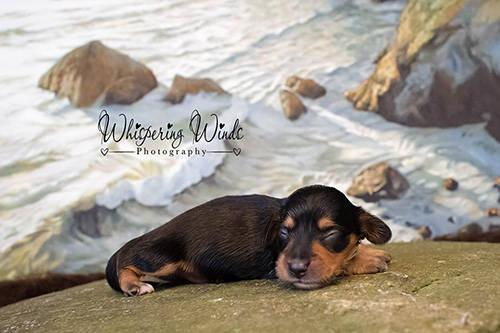 Miniature Dachshund Black and tan smooth male