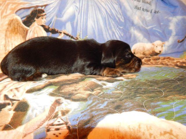 MINIATURE DACHSHUND..BLACK BRINDLE GIRL..WHITE ON CHEST