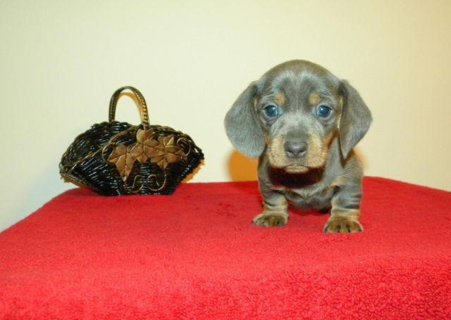 Miniature Dachshund Blue Tan Registered For Sale In Dunn North