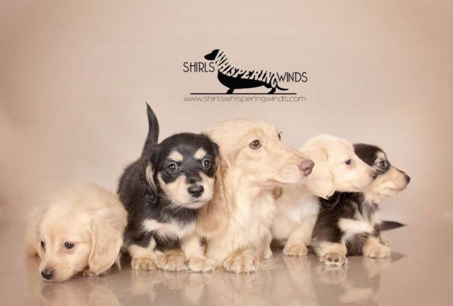 Miniature Dachshund Breeder accepting Reservations