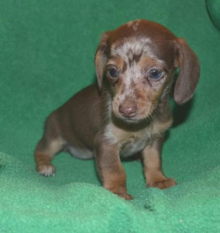 Dachshund For Sale In Cleveland Tennessee Classifieds Buy And