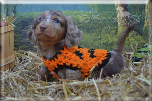 Chocolate And Tan Dachshund Chocolate Amp Tan Dapple