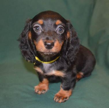Dachshund Pets And Animals For Sale In Surgoinsville Tennessee