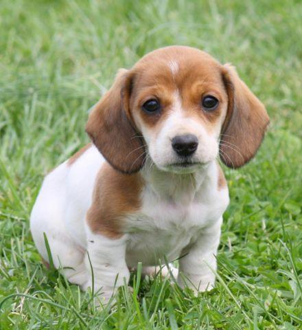 Miniature Dachshund Pets And Animals For In The Usa Puppy Kitten Clifieds Page 56 Kittens Puppies Americanlisted