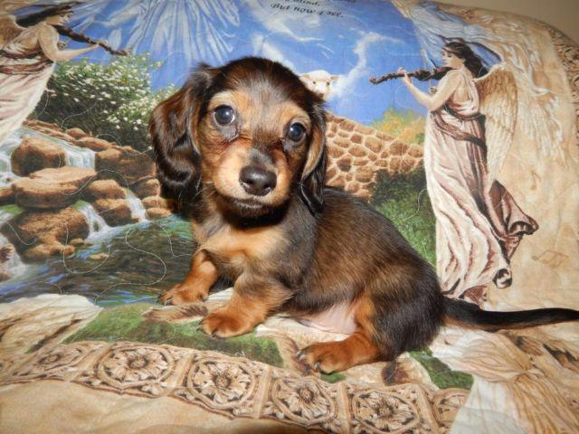 MINIATURE DACHSHUND HANDSOME SHADED RED LONGHAIR BOY