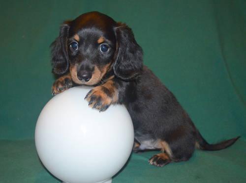 Miniature Dachshund Long Hair Black Tan Boy Puppy For Sale In