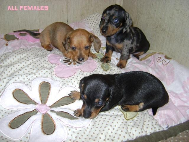 Miniature Dachshund puppies (3F & 1M)
