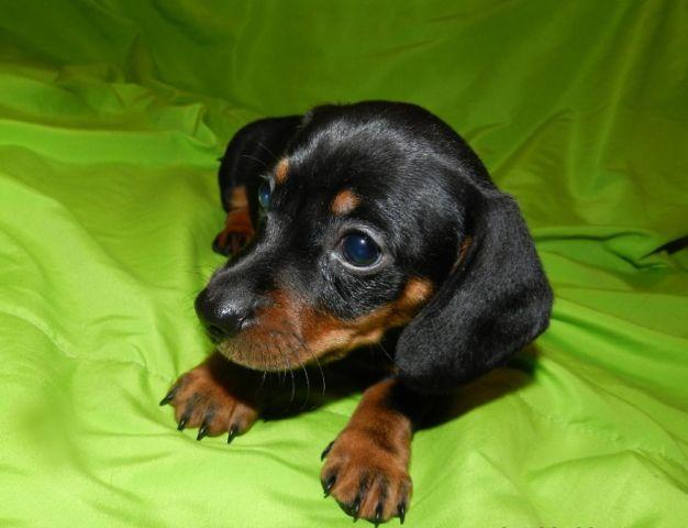 Miniature Dachshund Puppies For Sale In Gainesville Florida