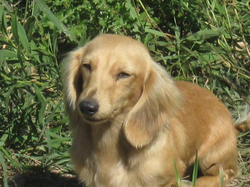 Miniature Dachshund Puppies For Sale For Sale In Crystal Michigan