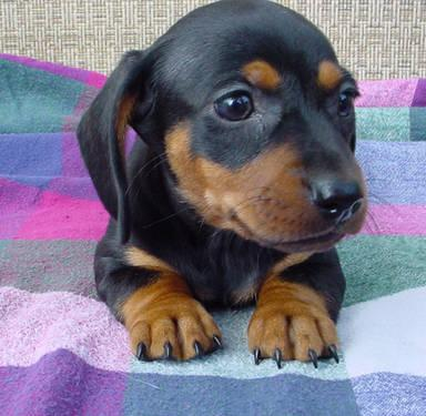 Miniature Dachshund Puppies Registered With Apri For Sale In Granada