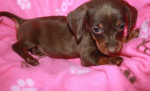 Miniature Dachshund Puppy for Sale - Adoption, Rescue