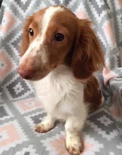 Miniature Dachshund Puppy for Sale - Adoption, Rescue for