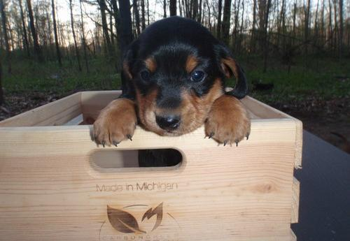 Miniature Dachshund Puppy For Sale Adoption Rescue For Sale In
