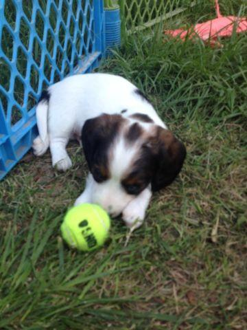 Miniature dachshund puppy ready 06/12