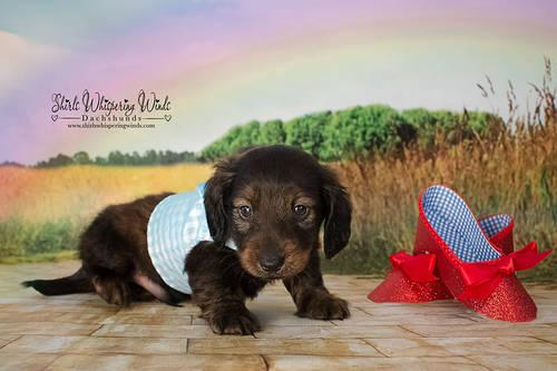 Miniature Dachshund Red Brindle Long coat male