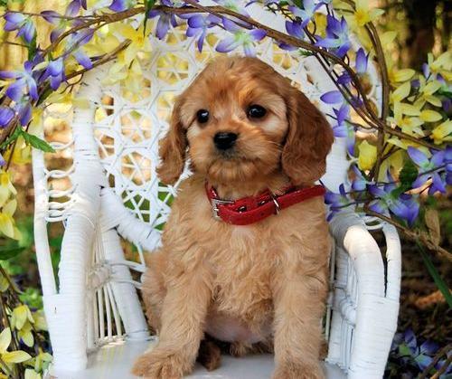 Miniature Golden Retriever Puppy for Sale - Adoption, Rescue for