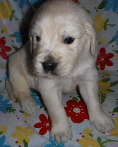 Miniature Golden Retriever Puppy for Sale - Adoption,