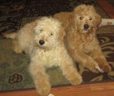 Miniature Goldendoodles F1b First Generation For Sale In