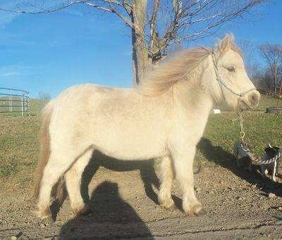 Miniature Horse - Spitfire - Small - Adult - Male - Horse