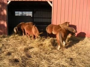 Miniature Horse Stallions - $125 (Verona, MO)
