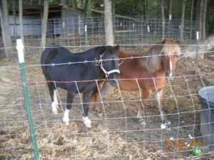 Miniature Horses - $150 (Mount Vernon)